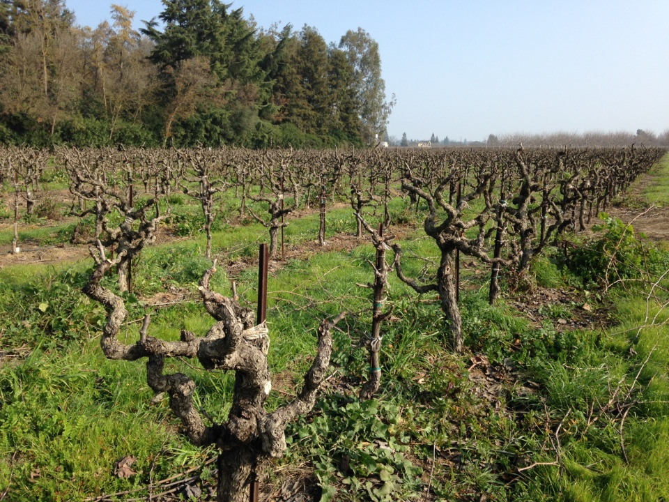 Picture of grape vines